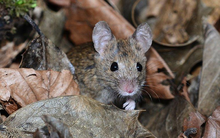 house mouse climbing in leaves