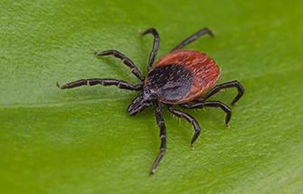 a tick on a leaf