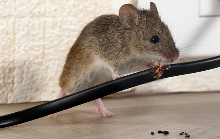 a rodent chewing on a cord