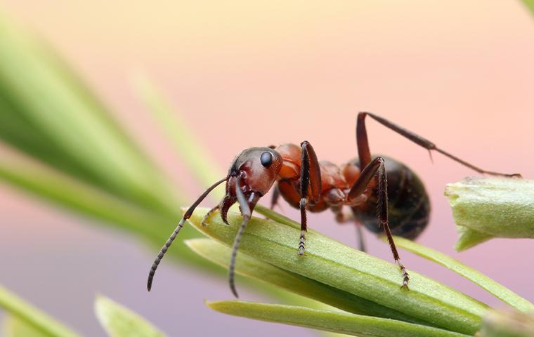 ant on a grass stem