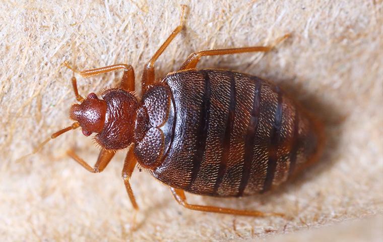 bedbug on a box spring
