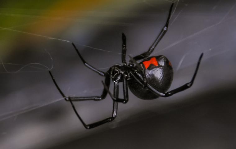 a black widow in its web
