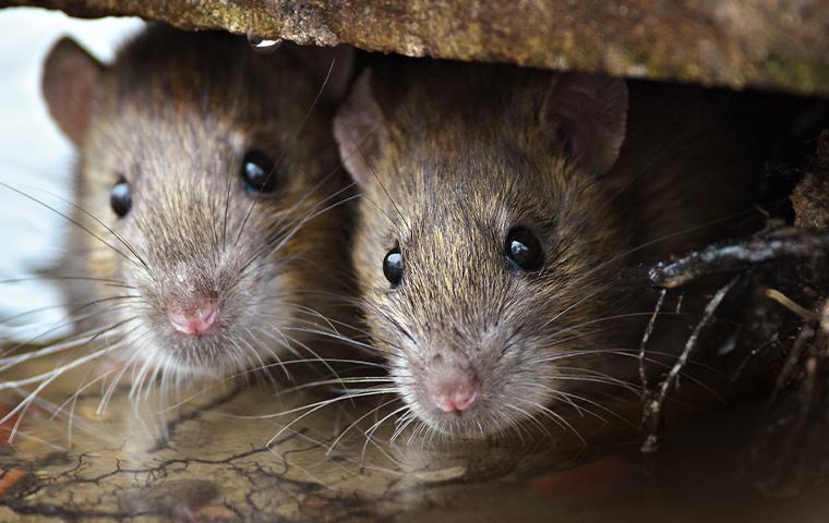 rodents hiding under wood