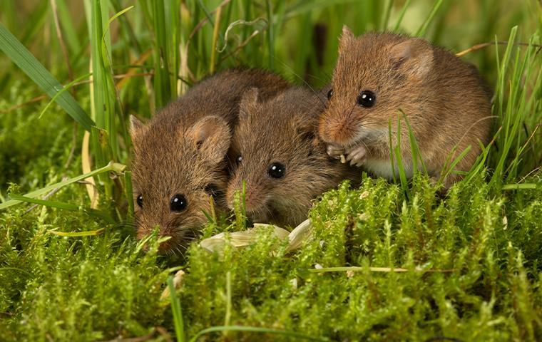 mice in the grass