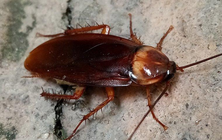 american cockroach on a home foundation