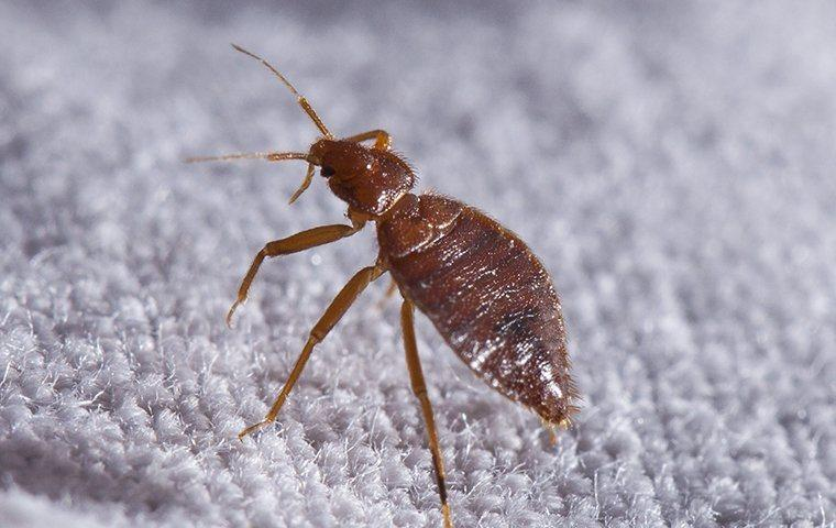 A bed bug crawling on carpet.