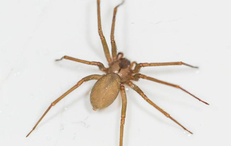 an up close image of a brown recluse spider crawling on a wall