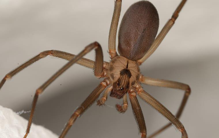 a brown recluse spider hanging in a web