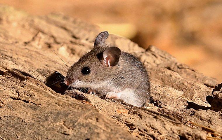 a deer mouse on a wood pile