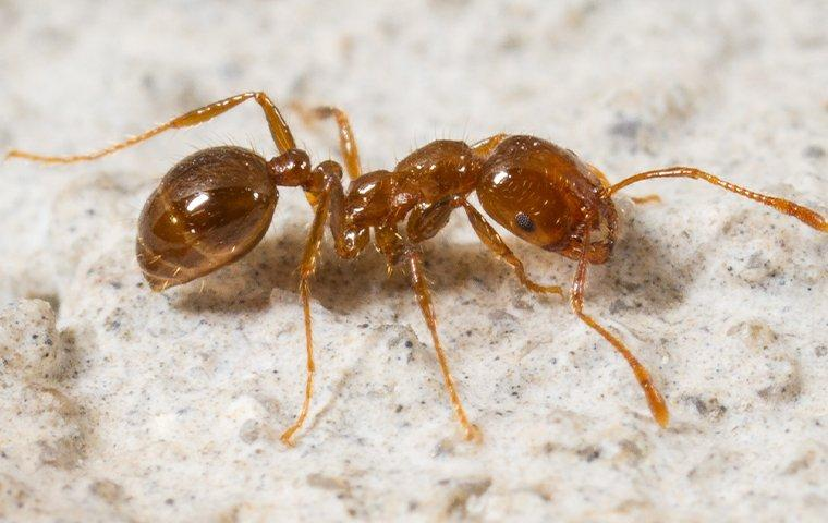 a fire ant crawling on a patio