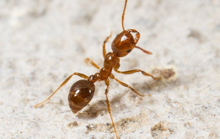 a fire ant crawling on a floor