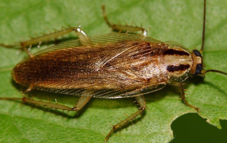 german cockroach on plant