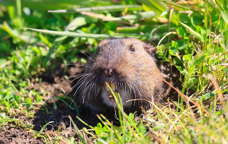 gopher's head sticking out of a hole in the grass