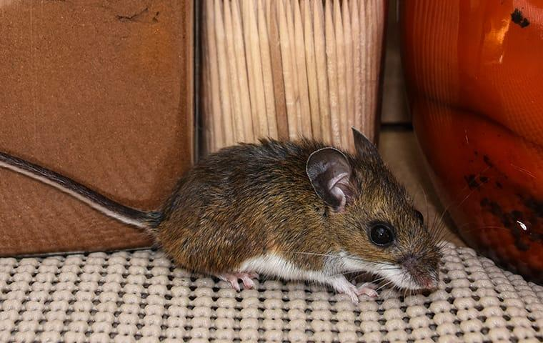 a house mouse crawling through a kitchen