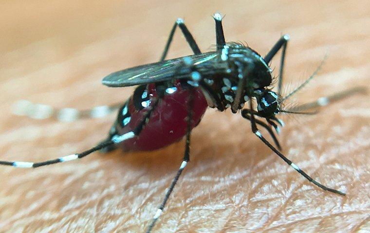 a mosquito biting a denver resident
