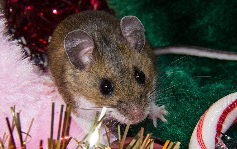 mouse crawling in holiday decorations