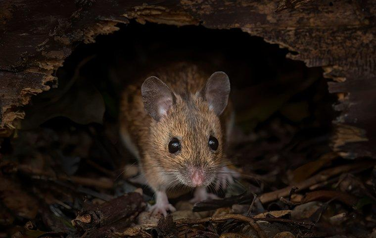 mouse crawling under a log