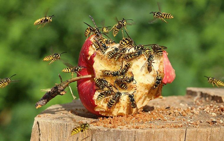 a swarm of wasps on an eaten apple