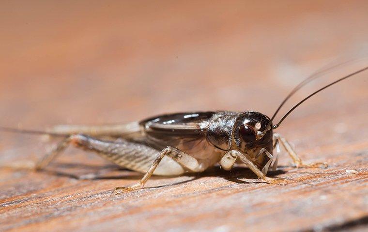 house cricket on wooden floor