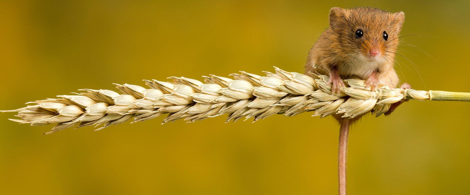 small rodent on a wheat strand