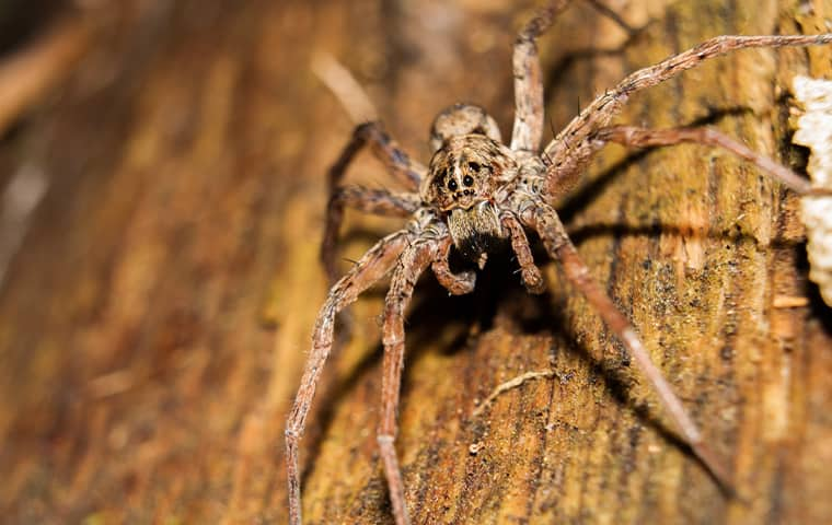 wolf spider on a tree