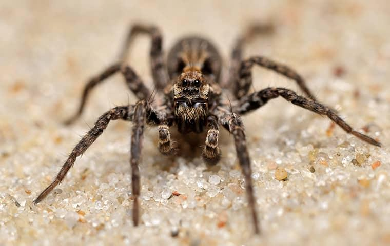 wolf spider on ground