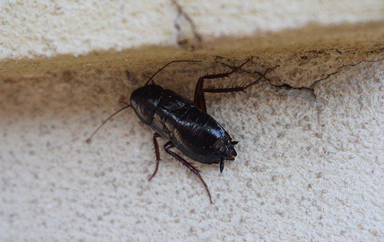 oriental cockroach on foundation of home