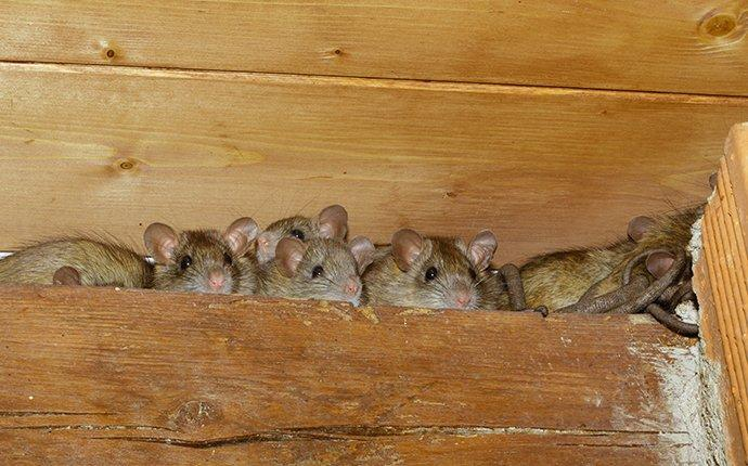 a family of rood rats in the rafters of a home
