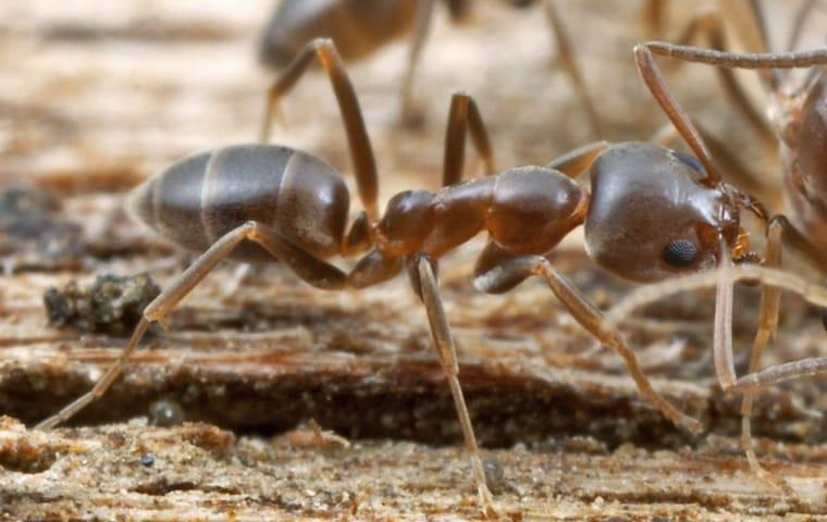 argentine ants crawling near their colony in lexington south carolina