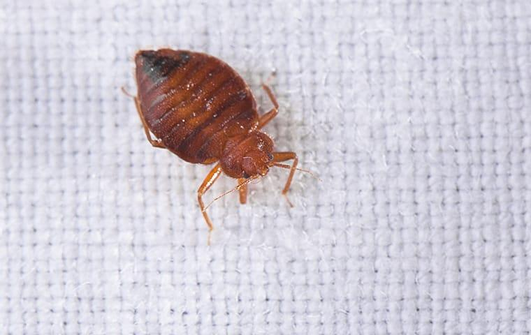 a bed bug crawls on sheets on a bed in a lexington south carolina home