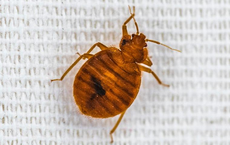 a bed bug crawling on sheets on a bed in a lexington south carolina home