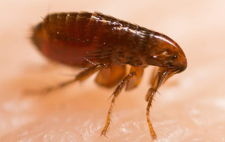 a flea crawling on skin in lexington south carolina