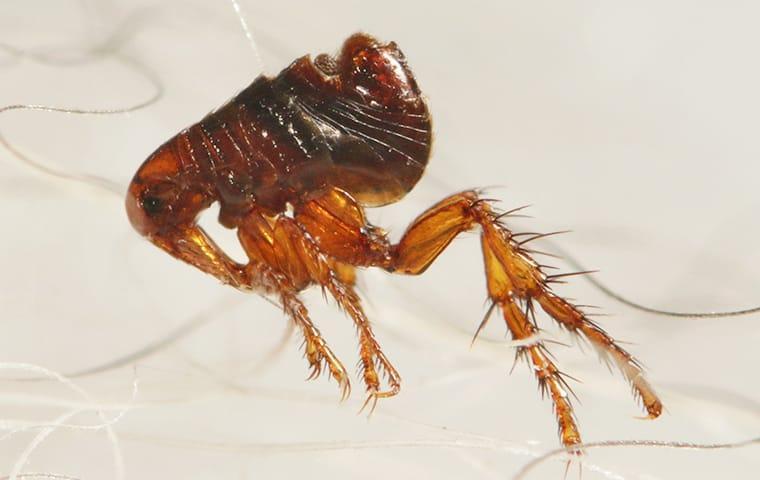 a flea crawling in pet hair in lexington south carolina