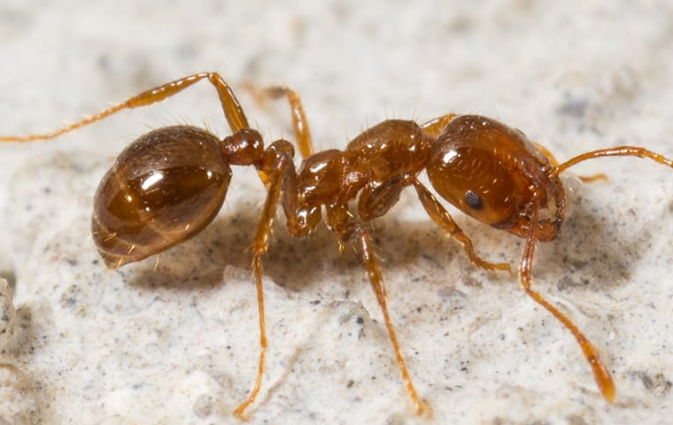 a fire ant crawling on a foundation of a columbia south carolina home
