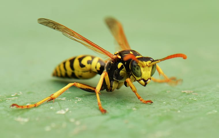 a wasp crawling on a picnic table in a columbia south carolina yard