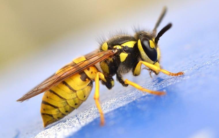 a yellow jacket wasp crawling on a car in lexington south carolina
