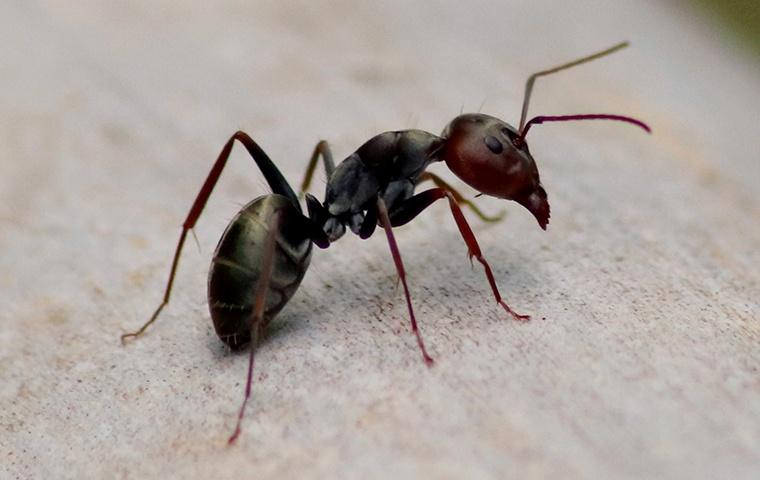 an ant in a home in newman california