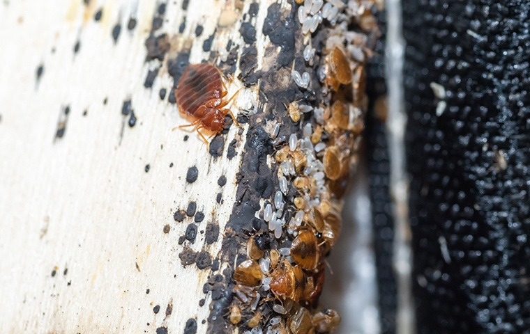 a bed bug crawling on a filthy piece of fabric in a home in modesto california