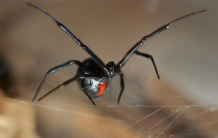 a black widow spider building a web in a home in modesto california