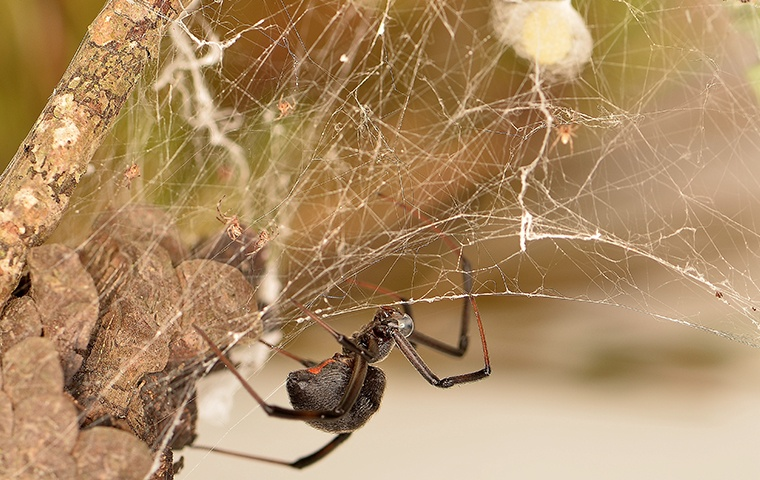a black widow spider on its web at a home in modesto california