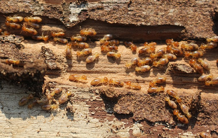 a termite colony eating a piece of wood