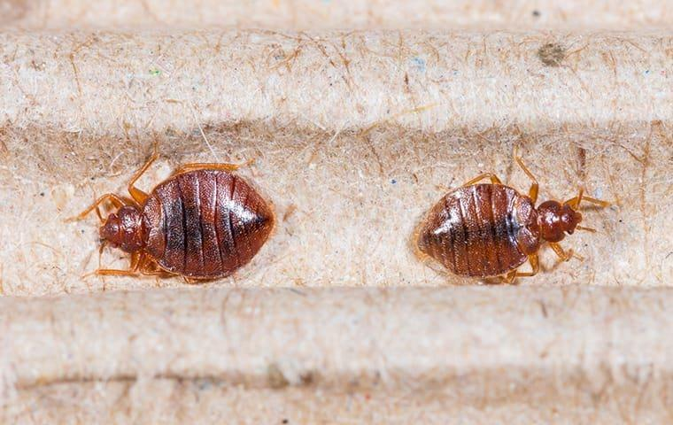 a bed bug infesttaion on modesto upholstery