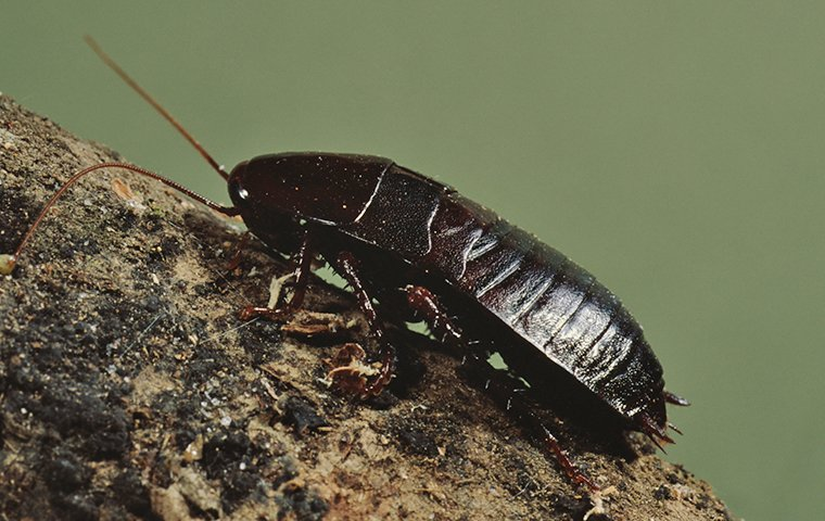 an oriental cockroach on a rock outside of a home in modesto california