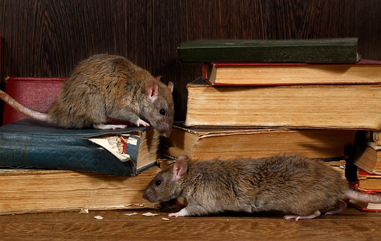 two rats destroying a stack of books inside a home