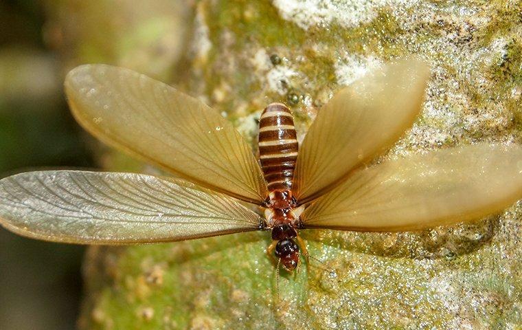 a termite swarmer crawling down a tree