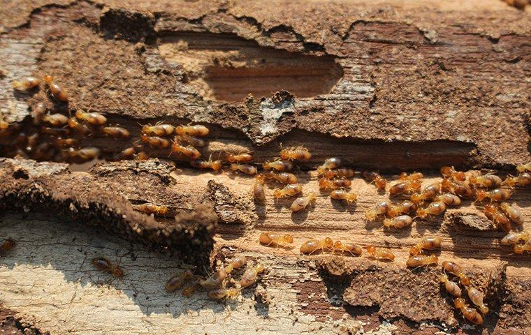 a colony of termites damaging wood