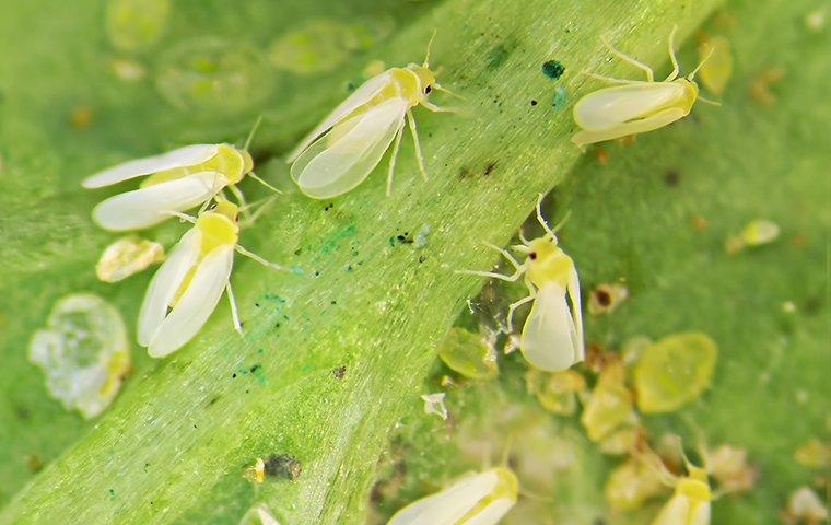 white flies on a plant