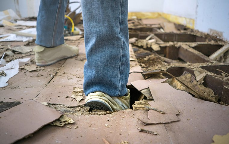 a homeowner walking on the termite damaged floor of a home