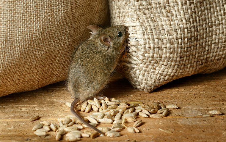 a mouse chewing on a sack of grain in a pantry inside a home