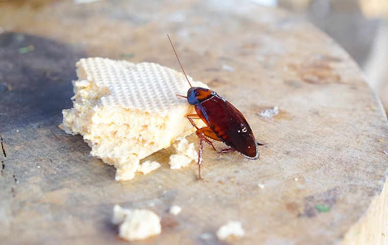a cockroach eating cake on a table in a home in modesto california